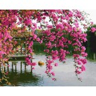 Цветущая сакура в саду